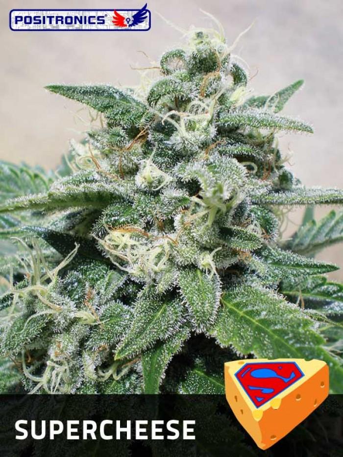 SuperCheese (Positronics Seeds) Semillas
