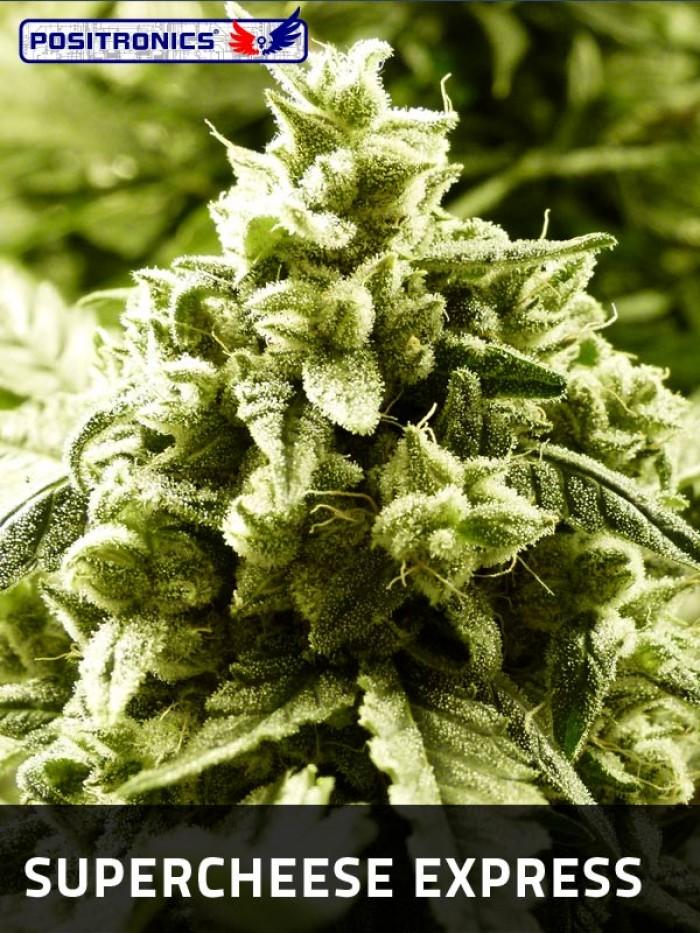 SuperCheese Express (Positronics) Semilla Feminizada Autofloreciente de Marihuana