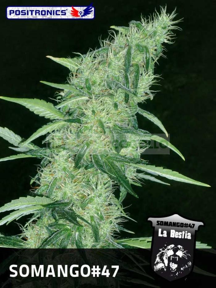 Somango#47 (Positronics Seeds) Semilla feminizada Cannabis-Marihuana