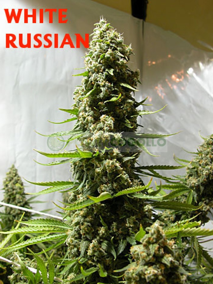 White Russian Regular (Serious Seeds)