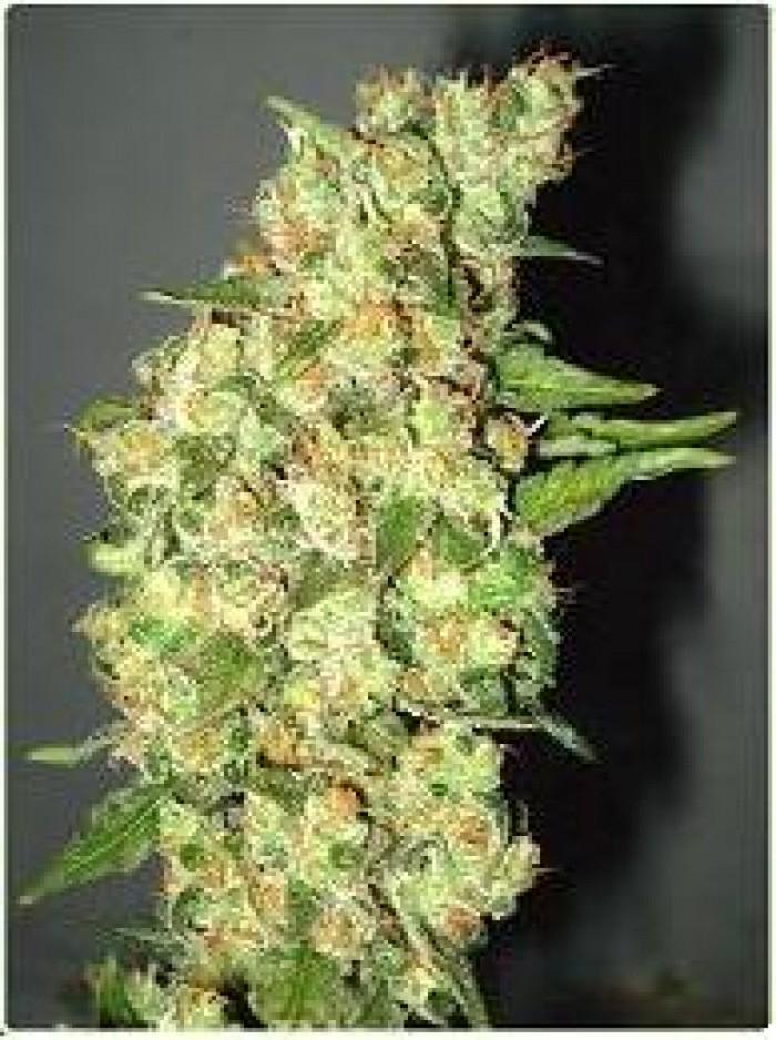 Doble Jack (Profesional Seeds) Feminizada