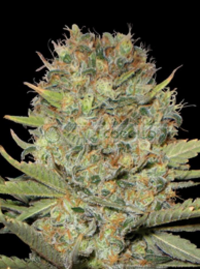 Semilla Dubble Gum (Profesional Seeds) Feminizada Cannabis