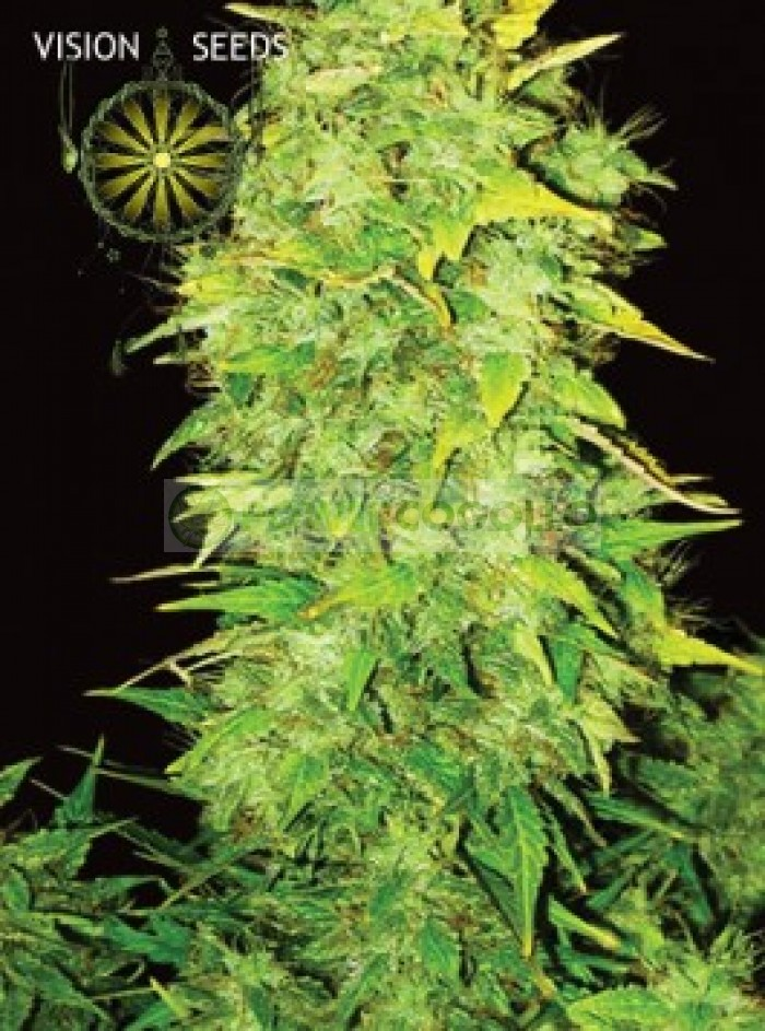 White Widow Auto Vision Seeds