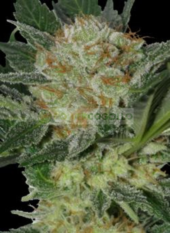 Widow (SeedMakers) Semilla Feminizada Cannabis-Marihuana barata