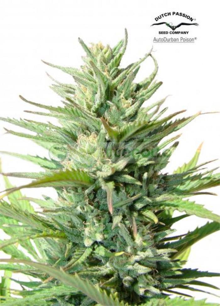 AutoDurban Poison (Dutch Passion) Semilla Autofloreciente Feminizada Cannabis