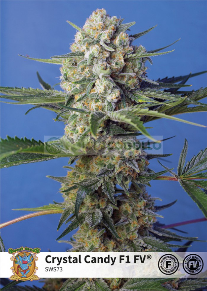 Crystal Candy F1 Fast Version (Sweet Seeds)