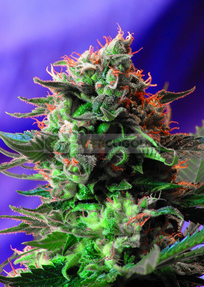 Jack 47 (Sweet Seeds) Feminizada