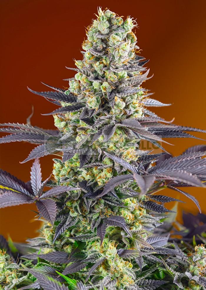Sweet Zkittlez Feminizada (Sweet Seeds)