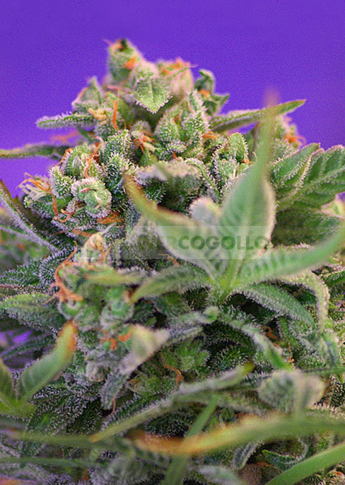 Sweet Cheese (F1 Fast Version) Sweet seeds Semilla Feminizada Cannabis