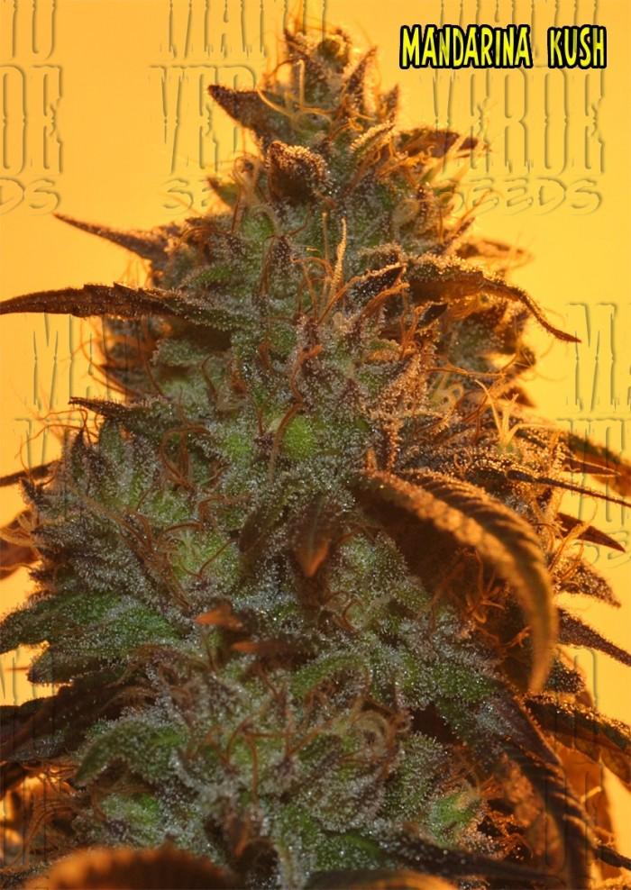 Mandarina Kush (Mano Verde Seeds) Semilla Feminizada Cannabis