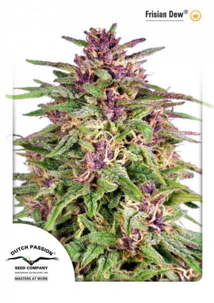 Frisian Dew (Dutch Passion) Semilla feminizada Cannabis-Marihuana