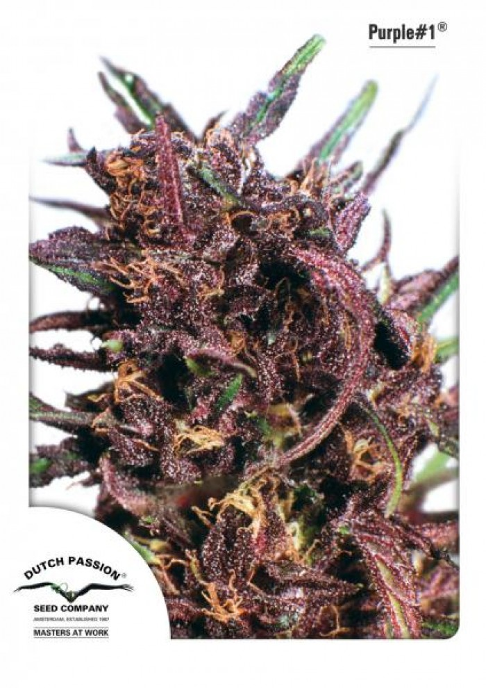 Purple #1 Regular (Dutch Passion) Semilla Cannabis-Marihuana