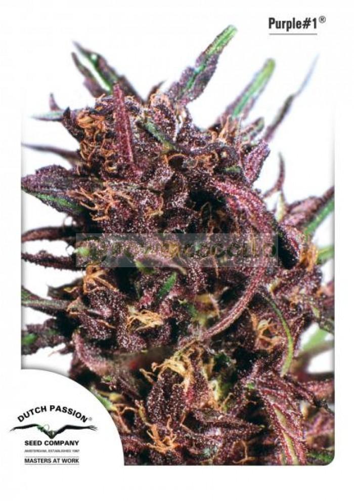 Purple #1 Feminizada (Dutch Passion)
