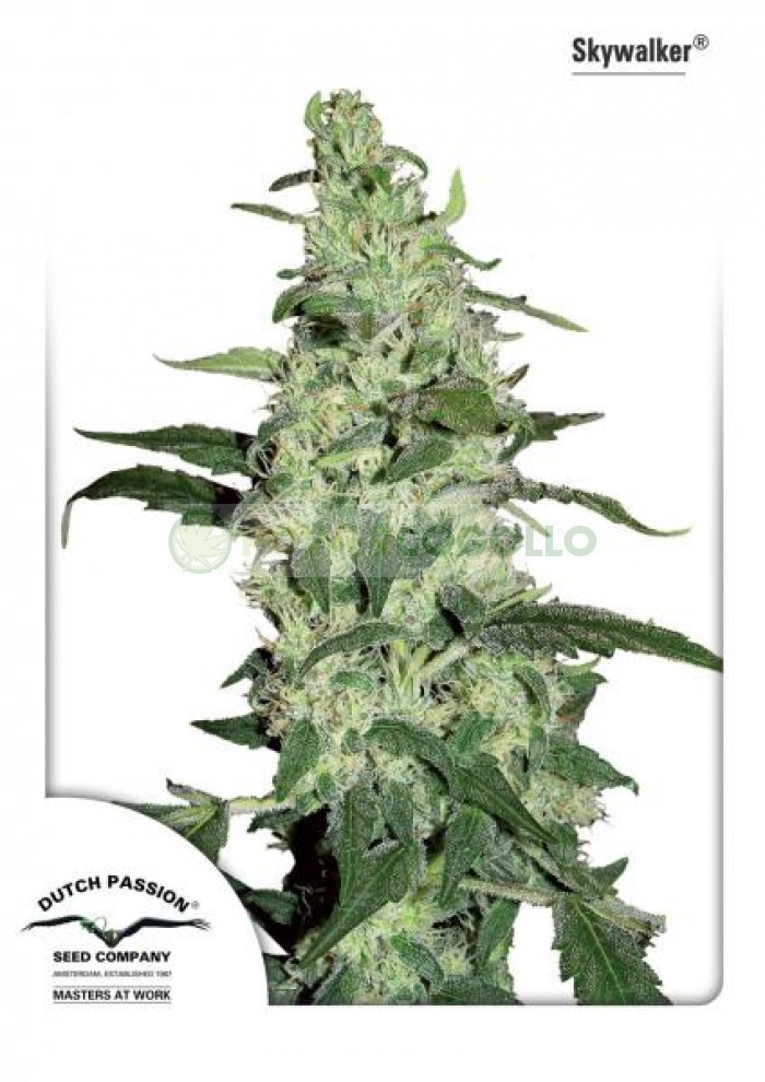 Skywalker Feminizada (Dutch Passion Seeds)