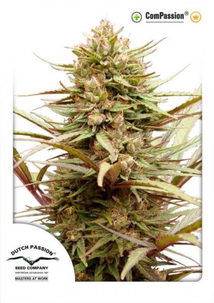 CBD ComPassion (Dutch Passion) Semilla Feminizada de Cannabis