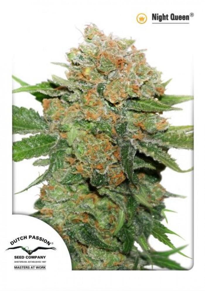 Night Queen (Dutch Passion) Cannabis seeds