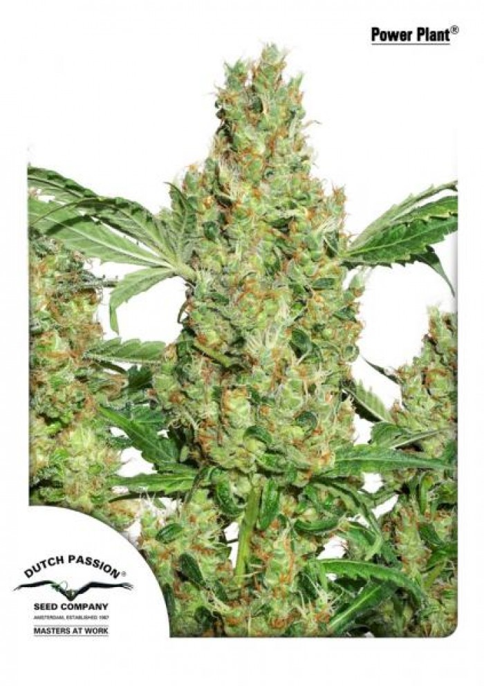 Power Plant Regular (Dutch Passion Seeds)