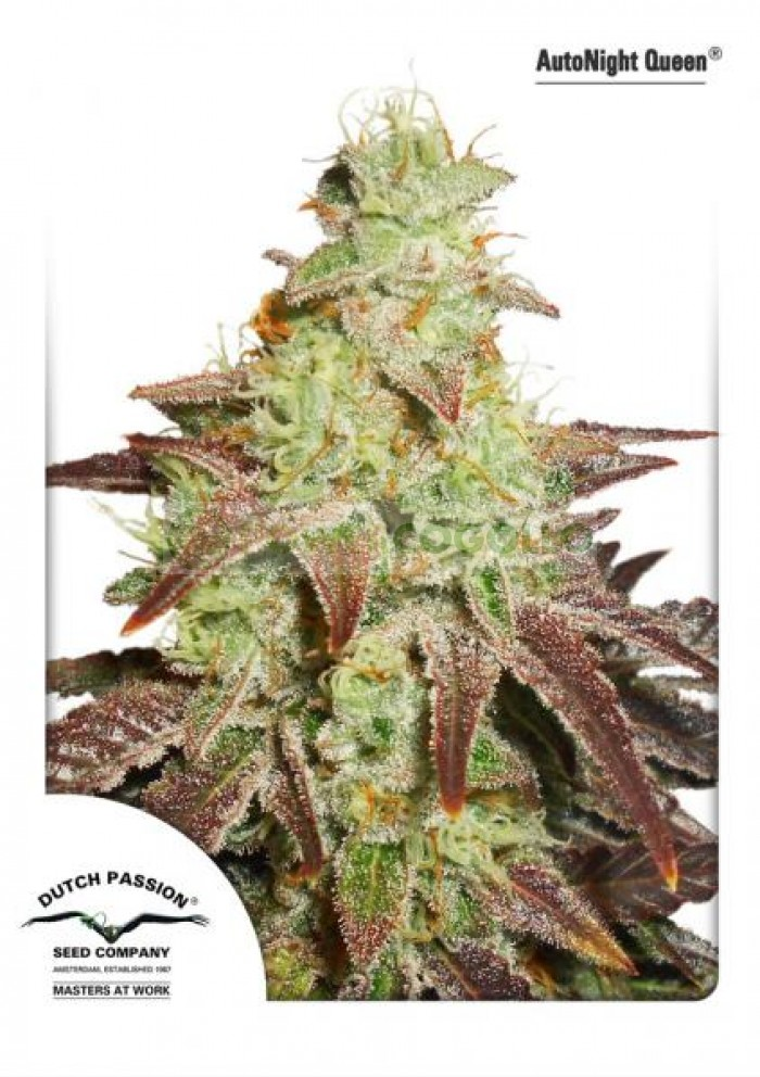 AutoNight Queen Dutch Passion Seeds