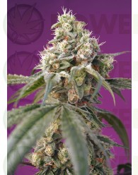bruce-banner-auto-sweet-seeds