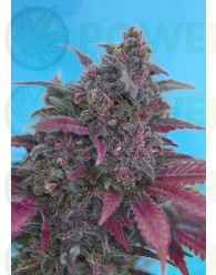 Dark Devil Auto (The Red Family) Sweet Seeds-25