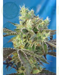 Do-Sweet-Dos Feminizada (Sweet Seeds)