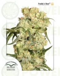 Freddy's Best (Dutch Passion) Semilla Feminizada marihuana