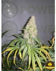 La Benitera Feminizada (Dreams Cannabis Seeds)
