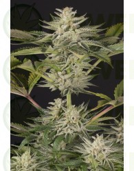 Ocean Grown Cookies Feminizada (Dinafem Seeds)