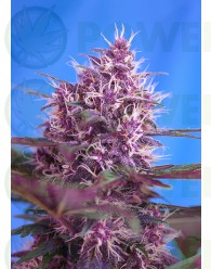 Red Poison Auto (The Red Family) Sweet Seeds-25