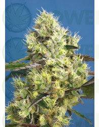Sweet Gelato Auto (Sweet Seeds)