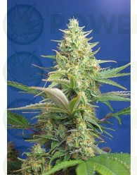 Sweet Pure Auto CBD (Sweet Seeds). Encuentra las mejores Semillas Feminizadas de Marihuana en nuestros GrowShop Dr. Cogollo - PowerCogollo.com tu Grow más Barato  y con el transporte incluido en envíos superiores a 50€ (Envíos y Devoluciones).  Sweet Pure