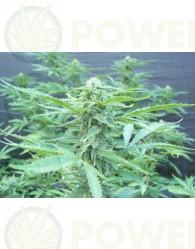 Regalo 5 Semillas Biohazard Seeds +250€