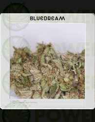Blue Dream (Original Blimburn America Feminized)