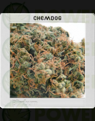 Chemdog #4 (Original Blimburn America Feminized)