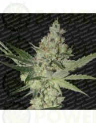 Acid (Paradise Seeds) Feminizada