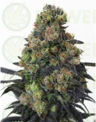 Acid Dough (Ripper Seeds)