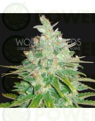 Afghan Kush x Black Dominan Feminizada World of Seeds