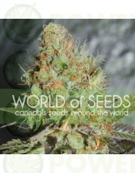 Afghan Kush Special (World of Seeds) Feminizada