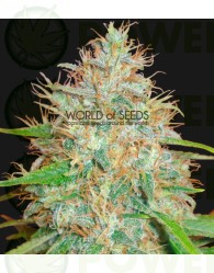 Semilla feminizada 100% Afghan Kush x Skunk (World of Seeds) Cannabis Medicinal.
