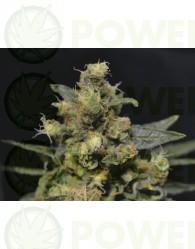 A-K (CBD Seeds) Semilla Marihuana Feminizada