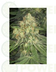 Allkush (Paradise Seeds) Regular