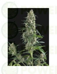Amnesia Gold (Pyramid Seeds)