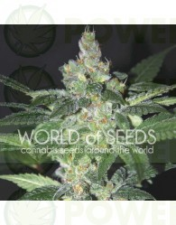 Amnesia (World of Seeds) Feminizada