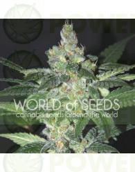Amnesia (World of Seeds) Feminizada