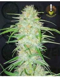 Amnesica (Mano Verde Seeds)