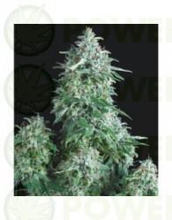 Anubis Feminizada (Pyramid Seeds)