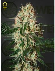 Arjan´s Haze #3 (Geen House Seeds)  Semilla Cannabis Arjan´s Haze #3 es una de las haze más rápida de la historia.  Genética: Haze, Laos.  Efectos: eufórica, muy social y muy creativa. Una de la más dulce y con toques frutales entre las sativas.  THC: 13.