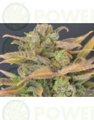 Auto Critical (CBD Seeds)