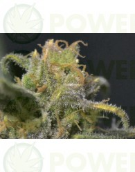 Auto Northern (Cbd Seeds)