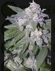 Auto Blue (SeedMakers)